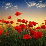poppy-flowers-sunset-nature-images